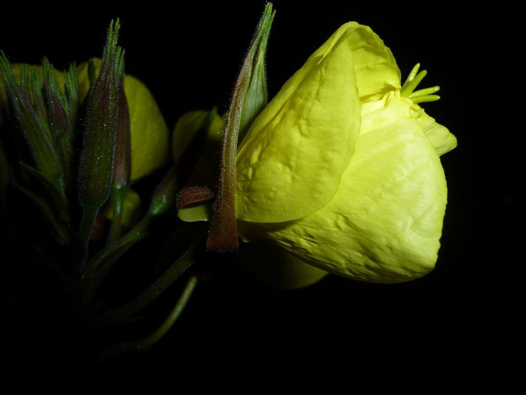 faszinierend schön Blumen wie Fledermäuse zum Staunen
